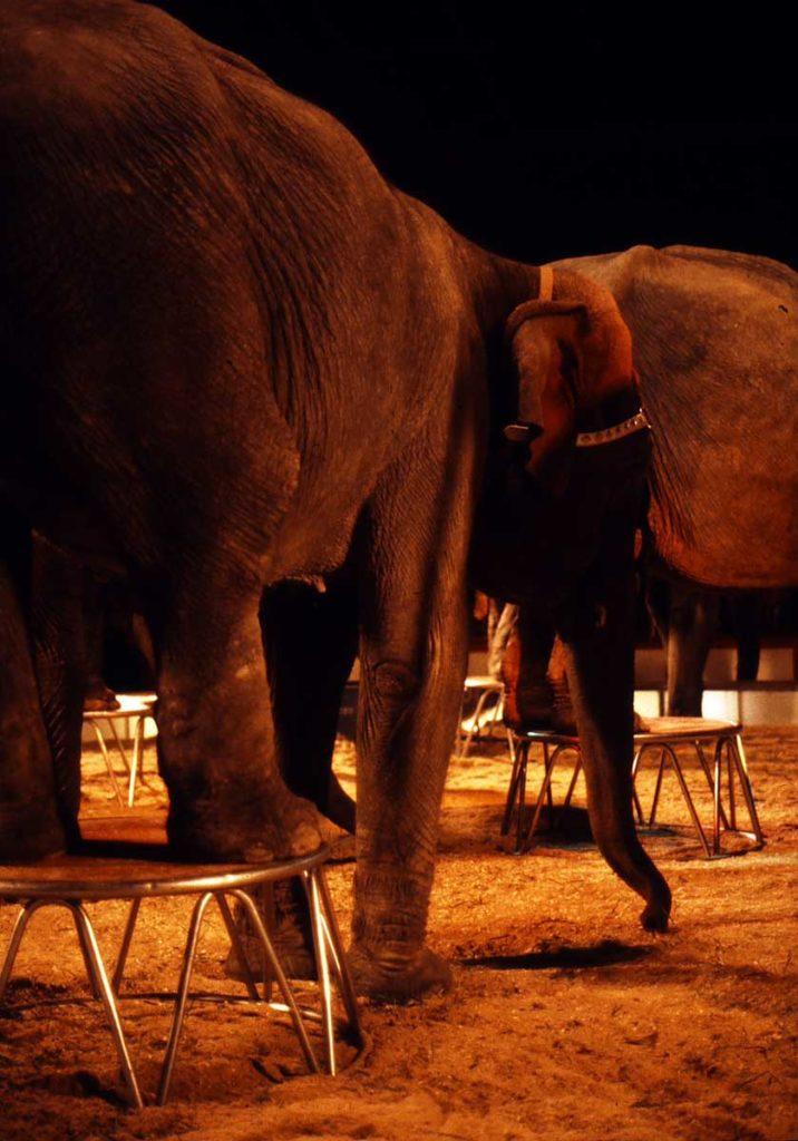 Elefanten in Zirkusmanege, Mai 1982