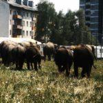 Elefantenherde in Weiz, Mai 1982